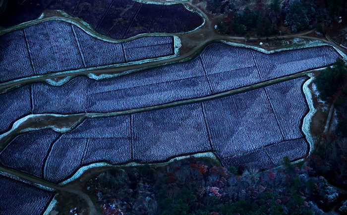 BRIDGEWATER MA , 11/ 12 / 13: FROZEN CRANBERRIES in a bog usually red in color is a frozen blue with frost as night sets in early November seen from a helicopter.