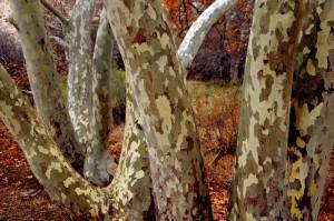 Montezuma, Arizona-11/25/2013- Sycamore tree bend in the gardens below the Montezuma cliff dwellings.