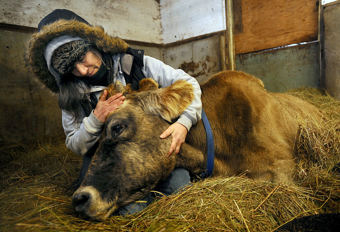Georgette Jowdy, a worker at Eastleigh Farm in Framingham, cradles her beloved 22-year-old Jersey cow Peaches,  the matriach of the dairy farm, shortly before the cow  was euthanized by a vetrinarian.  Strong-willed Peaches lived a long life for a cow but couldn't stand up at the end, suffering from arthritis and other ailments.  Jowdy knew Peaches for 14 years.