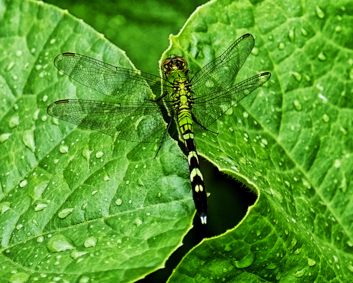 A dragonfly blends in with the wet leaves of a flowering plant in Easton, Mass., Tuesday, July 23, 2013.