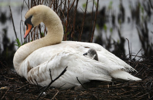 A cygnet pokes its head through the feathers of the mother swan as the other six stay dry underneath in their nest on Farm Pond in Framingham.