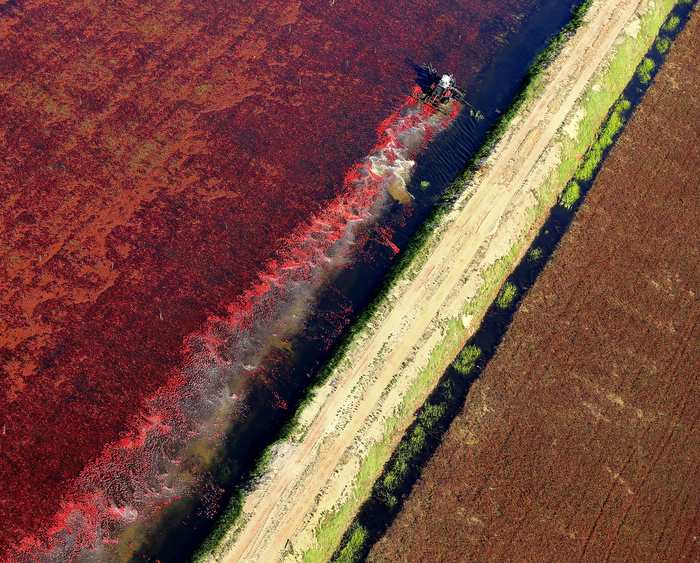 A wet cranberry bog is harvested in Carver, Mass.
