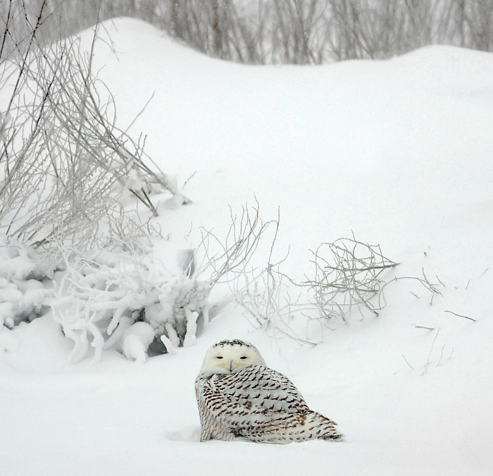 (Newbury, MA 01/03/14)  A Snowy Owl was right at home as it sought the shelter of the snow covered dunes on Plum Island on Friday, January 03, 2014.