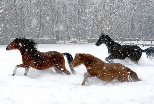 Cocoa, Mr. Bingo, and Bleu frolic in their snow covered paddock at the Stasinos Farm in Haverhill, Mass.
