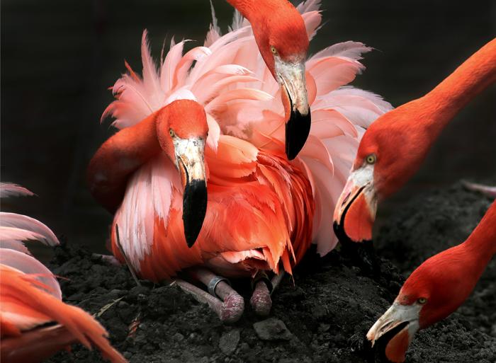 Caribbean Flamingo's at the Stoneham Zoo