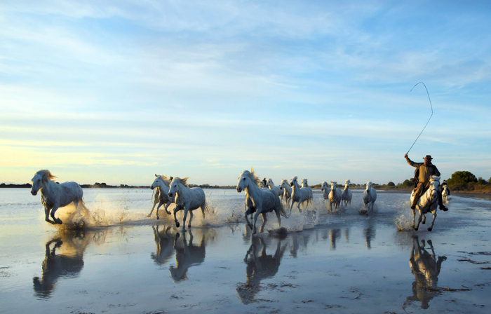 A rancher leads a pack of white horses in the Camargue region of France, April 29, 2016.