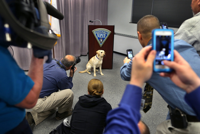 Winnie, a two-year old Labrador retriever stood at the podium at the Mass. State Police Headquarters before a throng of media cameras and reporters as she was introduced as the newest State Police member. The dog is specially trained to sniff out items associated with computers and cell phones, including storage devices , SD cards and USB drives.